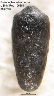 To NMNH Paleobiology Collection (Pseudoglandulina densa USNM PAL 106381 holotype)
