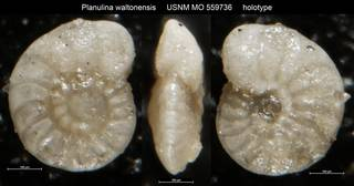 To NMNH Paleobiology Collection (Planulina waltonensis USNM MO 559736 holotype)