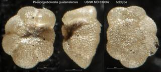 To NMNH Paleobiology Collection (Pseudogloborotalia guatemalensis USNM MO 639062 holotype)
