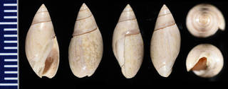 To NMNH Paleobiology Collection (USNM MO 498659 Olivella pedroana - several views)