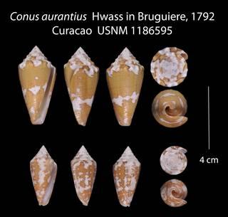 To NMNH Extant Collection (Conus aurantius  USNM 1186595)
