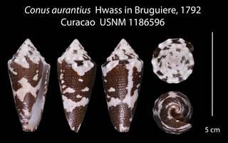 To NMNH Extant Collection (Conus aurantius USNM 1186596)