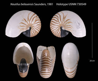 To NMNH Extant Collection (Nautlilus belauensis    USNM 730540)