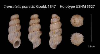 To NMNH Extant Collection (Truncatella porrecta    USNM 5527)