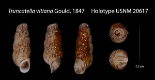 To NMNH Extant Collection (Truncatella vitiana    USNM 20617)