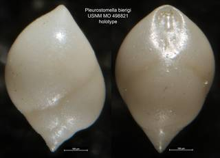 To NMNH Paleobiology Collection (Pleurostomella bierigi USNM MO 498821 holotype)