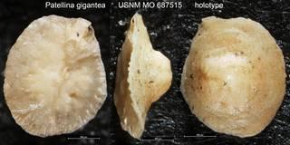 To NMNH Paleobiology Collection (Patellina gigantea USNM MO 687515 holotype)
