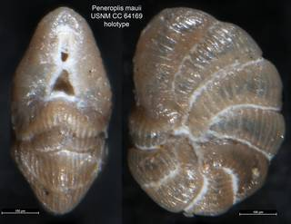 To NMNH Paleobiology Collection (Peneroplis mauii USNM CC 64169 holotype)