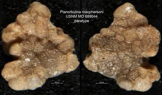 To NMNH Paleobiology Collection (Planorbulina macphersoni USNM MO 689044 paratype)