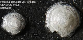 To NMNH Paleobiology Collection (Patellina corrugata var. formosa USNM CC 14605 paratypes)