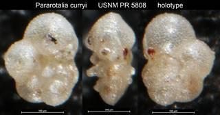 To NMNH Paleobiology Collection (Pararotalia curryi USNM PR 5808 holotype)