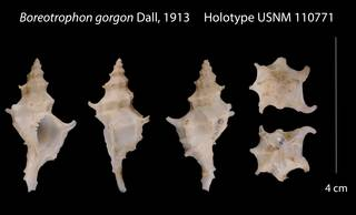 To NMNH Extant Collection (Boreotrophon gorgon    USNM 110771)