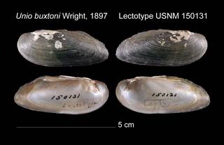 To NMNH Extant Collection (Unio buxtoni Lectotype    USNM 150131)
