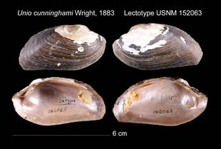 To NMNH Extant Collection (Unio cunninghami Lectotype    USNM 152063)