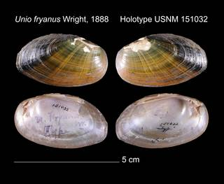 To NMNH Extant Collection (Unio fryanus Holotype    USNM 151032)
