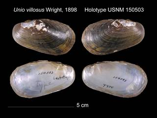 To NMNH Extant Collection (Unio villosus Holotype    USNM 150503)