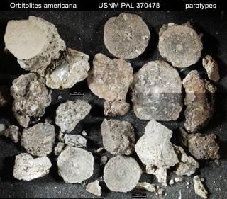 To NMNH Paleobiology Collection (Orbitolites americana USNM PAL 370478 paratypes)
