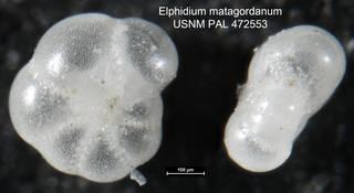 To NMNH Paleobiology Collection (Elphidium matagordanum USNM PAL 472553 close up)