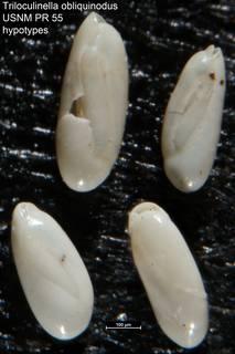 To NMNH Paleobiology Collection (Triloculinella obliquinodus USNM PR 55 hypotypes)