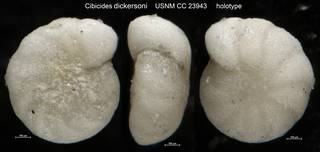 To NMNH Paleobiology Collection (Cibicides dickersoni USNM CC 23943 holotype)