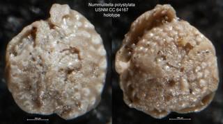 To NMNH Paleobiology Collection (Nummulitella polystylata USNM CC 64167 holotype)