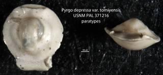 To NMNH Paleobiology Collection (Pyrgo depressa var. tomiyensis USNM PAL 371216 paratypes)