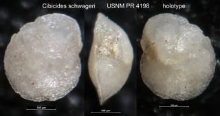 To NMNH Paleobiology Collection (Cibicides schwageri USNM PR 4198 holotype)