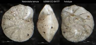 To NMNH Paleobiology Collection (Notorotalia tainuia USNM CC 64177 holotype)