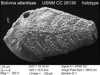 To NMNH Paleobiology Collection (Bolivina atlantisae USNM CC 26130 holotype)