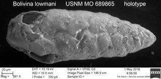 To NMNH Paleobiology Collection (Bolivina lowmani USNM MO 689865 holotype)