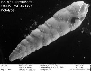 To NMNH Paleobiology Collection (Bolivina translucens USNM PAL 369359 holotype)