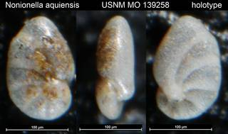 To NMNH Paleobiology Collection (Nonionella aquiensis USNM MO 139258 holotype)