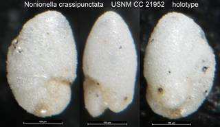 To NMNH Paleobiology Collection (Nonionella crassipunctata USNM CC 21952 holotype)