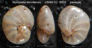 To NMNH Paleobiology Collection (Nonionella danvillensis USNM CC 18932 paratype)