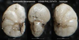 To NMNH Paleobiology Collection (Nonionella davanaensis USNM PAL 237473 holotype)