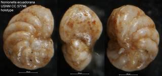 To NMNH Paleobiology Collection (Nonionella ecuadorana USNM CC 57746 holotype)