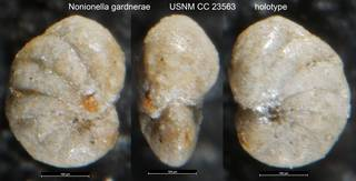 To NMNH Paleobiology Collection (Nonionella gardnerae USNM CC 23563 holotype)