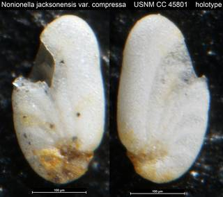 To NMNH Paleobiology Collection (Nonionella jacksonensis var. compressa USNM CC 45801 holotype)