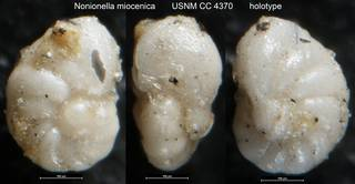 To NMNH Paleobiology Collection (Nonionella miocenica USNM CC 4370 holotype)