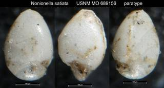 To NMNH Paleobiology Collection (Nonionella satiata USNM MO 689156 paratype)