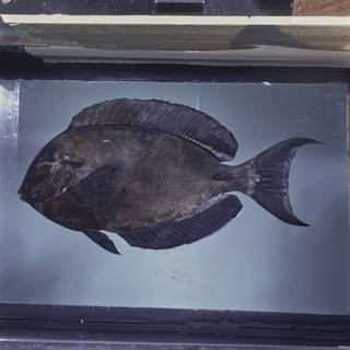 To NMNH Extant Collection (Acanthurus auranticavus FIN026007 Slide 120 mm)