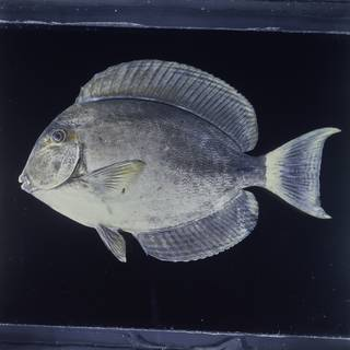 To NMNH Extant Collection (Acanthurus blochii FIN026010 Slide 120 mm)