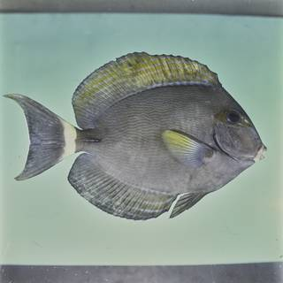 To NMNH Extant Collection (Acanthurus grammoptilus FIN026014 Slide 120 mm)