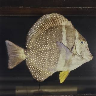 To NMNH Extant Collection (Acanthurus guttatus FIN026015 Slide 120 mm)