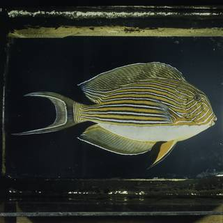 To NMNH Extant Collection (Acanthurus lineatus FIN026026 Slide 120 mm)