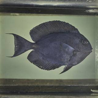 To NMNH Extant Collection (Acanthurus nubilus FIN026040 Slide 120 mm)