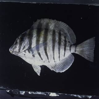 To NMNH Extant Collection (Acanthurus polyzona FIN026044 Slide 120 mm)