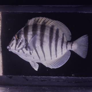 To NMNH Extant Collection (Acanthurus polyzona FIN026045 Slide 120 mm)