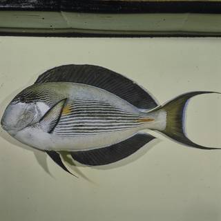 To NMNH Extant Collection (Acanthurus sohal FIN026050 Slide 120 mm)