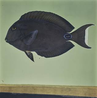 To NMNH Extant Collection (Acanthurus tennentii FIN026051 Slide 120 mm)